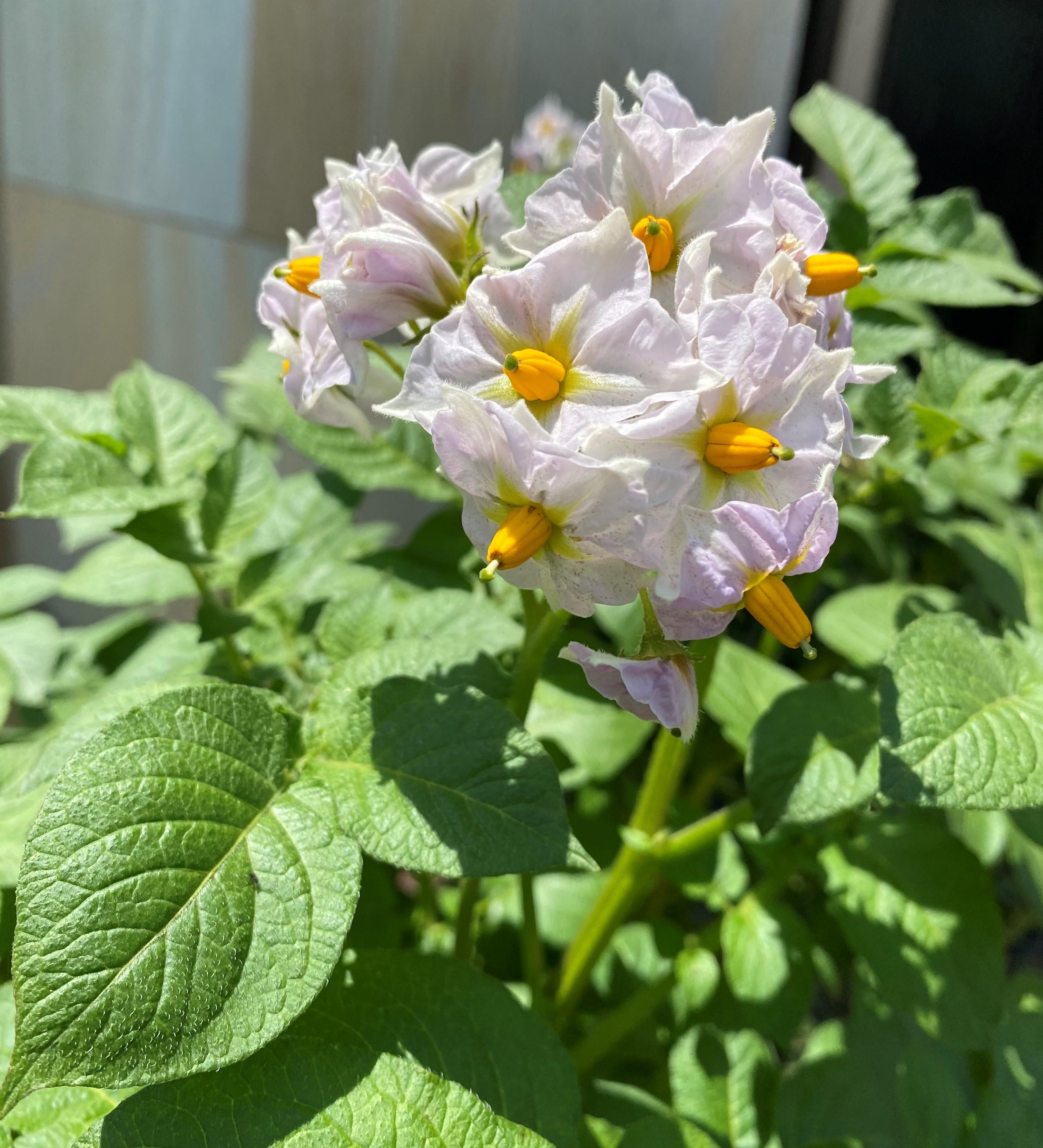 じゃが芋の花